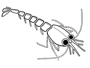 ML post-larvae sketch 72dpi 4x3.jpg (9945 bytes)