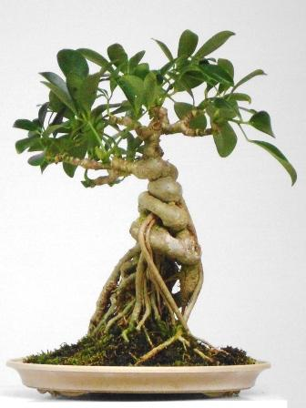 Dwarf Schefflera Care And Portal Section
