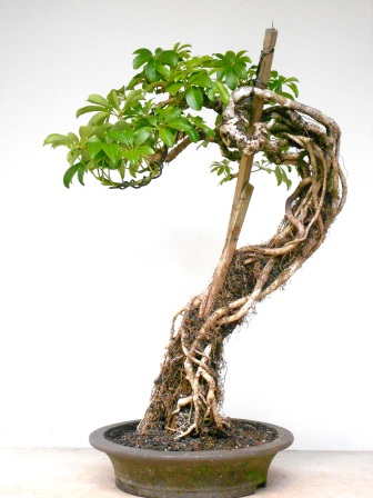 Dwarf Schefflera Care And Portal Section