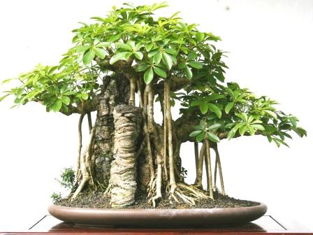 bonsai without wiring smart wiring diagrams u2022 rh eclipsenetwork co Bonsai Shapes Bonsai Wiring Tips