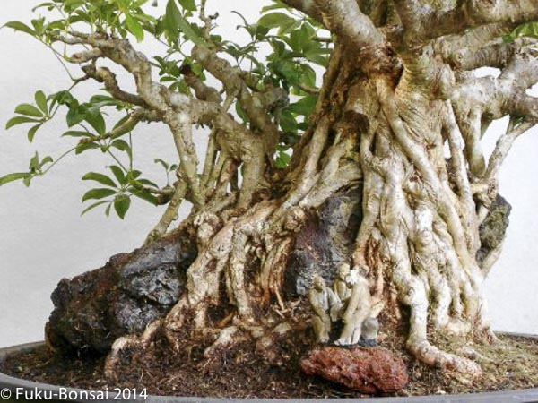my root over rock adventures part 1 rh fukubonsai com Schefflera Aerial Roots Cutting Back a Schefflera Plant