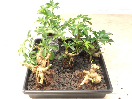 how to get smaller leaves on bonsai
