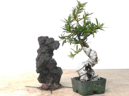 Podocarpus Rock Planting Workshop