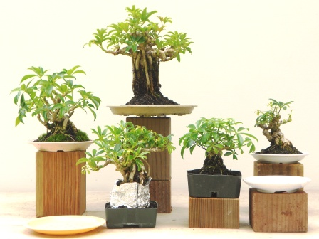 lesson 25 mini bonsai. Black Bedroom Furniture Sets. Home Design Ideas