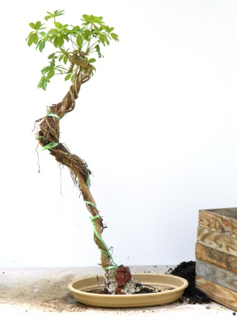 lesson 26 ultra roots rh fukubonsai com Bonsai Copper Wire wiring bonsai roots